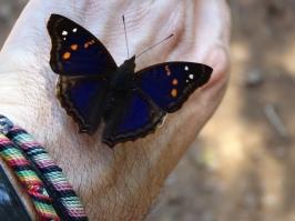 Doxocopa agathina vacuna
