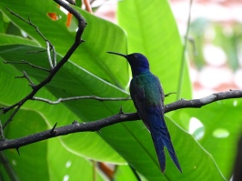 Colibri hirondelle