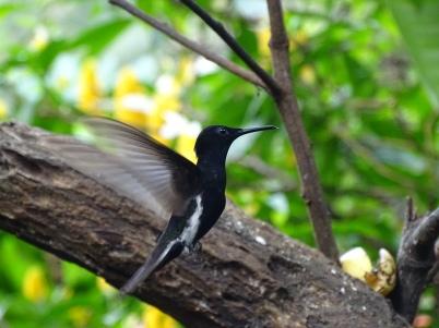 Colibri demi-deuil